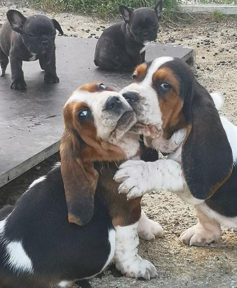 Elevage basset hound